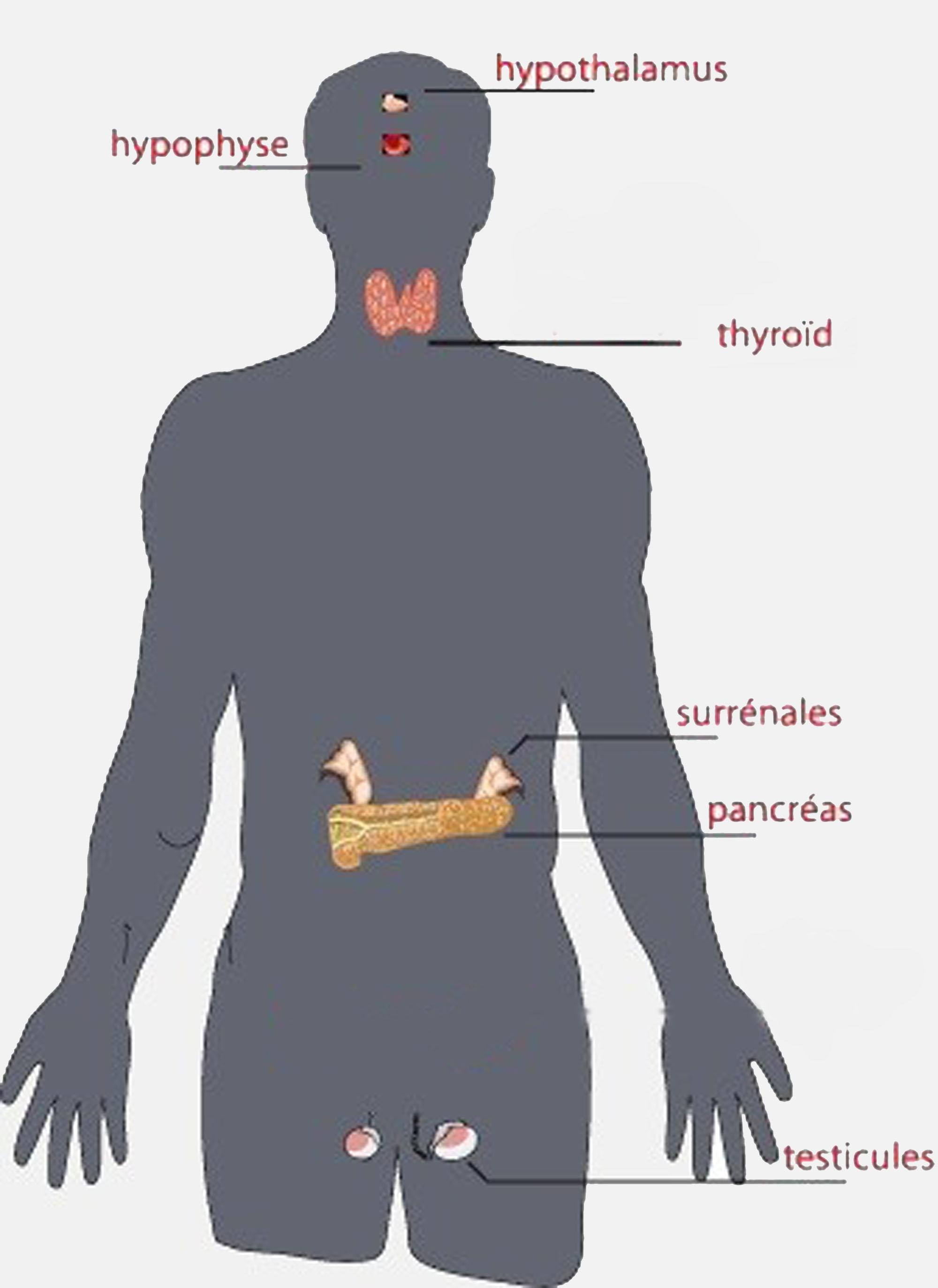 YTH Hommes – système hormonal   Energie Yoga
